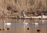 BIRD - SWAN - TUNDRA SWAN - CAO HAI WETLANDS PARK NEAR LIJIANG YUNNAN CHINA (18).JPG