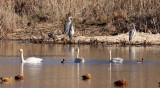 BIRD - SWAN - TUNDRA SWAN - CAO HAI WETLANDS PARK NEAR LIJIANG YUNNAN CHINA (20).JPG