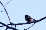 BIRD - TIT - BLACK-BROWED TIT - LIJIANG HIGHLANDS YUNNAN CHINA (3).JPG