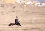 BIRD - VULTURE - HIMALAYAN GRIFFON - HIGHLANDS NEAR NAPAHAI YUNNAN CHINA (57).JPG