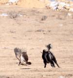 BIRD - VULTURE - HIMALAYAN GRIFFON - HIGHLANDS NEAR NAPAHAI YUNNAN CHINA (58).JPG
