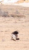 BIRD - VULTURE - HIMALAYAN GRIFFON - HIGHLANDS NEAR NAPAHAI YUNNAN CHINA (65).jpg