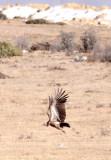 BIRD - VULTURE - HIMALAYAN GRIFFON - HIGHLANDS NEAR NAPAHAI YUNNAN CHINA (66).JPG