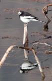 BIRD - WAGTAIL - WHITE WAGTAIL - WETLANDS NEAR ERHAI LAKE DALI YUNNAN CHINA (5).JPG
