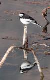 BIRD - WAGTAIL - WHITE WAGTAIL - WETLANDS NEAR ERHAI LAKE DALI YUNNAN CHINA (8).JPG