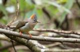 BIRD - YUHINA - RUFOUS-VENTED YUHINA - WULIANGSHAN NATURE RESERVE YUNNAN CHINA (12).JPG