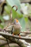 BIRD - YUHINA - RUFOUS-VENTED YUHINA - WULIANGSHAN NATURE RESERVE YUNNAN CHINA (13).JPG