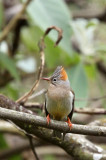 BIRD - YUHINA - RUFOUS-VENTED YUHINA - WULIANGSHAN NATURE RESERVE YUNNAN CHINA (14).JPG