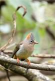 BIRD - YUHINA - RUFOUS-VENTED YUHINA - WULIANGSHAN NATURE RESERVE YUNNAN CHINA (5).JPG