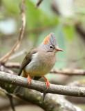 BIRD - YUHINA - RUFOUS-VENTED YUHINA - WULIANGSHAN NATURE RESERVE YUNNAN CHINA (6).JPG