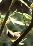 BIRD - YUHINA - WHISKERED YUHINA - WULIANGSHAN NATURE RESERVE YUNNAN CHINA (3).JPG