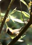 BIRD - YUHINA - WHISKERED YUHINA - WULIANGSHAN NATURE RESERVE YUNNAN CHINA (4).JPG