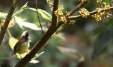 BIRD - YUHINA - WHISKERED YUHINA - WULIANGSHAN NATURE RESERVE YUNNAN CHINA (7).JPG