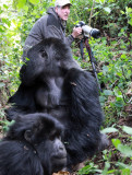 PRIMATE - GORILLA - MOUNTAIN GORILLA - AMOHORO GROUP - PARC DU VULCANS RWANDA (239).JPG