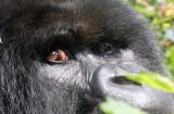 PRIMATE - GORILLA - MOUNTAIN GORILLA - PARC DU VOLCANS RWANDA 2012 (247).JPG