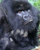PRIMATE - GORILLA - MOUNTAIN GORILLA - PARC DU VOLCANS RWANDA 2012 (345).JPG