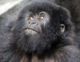 PRIMATE - GORILLA - MOUNTAIN GORILLA - PARC DU VOLCANS RWANDA 2012 (389).JPG