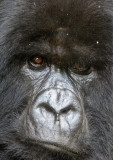 PRIMATE - GORILLA - MOUNTAIN GORILLA - PARC DU VOLCANS RWANDA 2012 (527).JPG