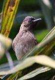BIRD - BULBUL - COMMON BULBUL - NYUNGWE NATIONAL PARK RWANDA (5).JPG