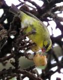 BIRD - CANARY - YELLOW-CROWNED CANARY - SERINUS CANICOLLIS - RUHENGERI RWANDA (5).JPG