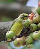 BIRD - CANARY - YELLOW-FRONTED CANARY - SERINUS MOZAMBICUS - PARK DU VULCANS RWANDA (116).JPG
