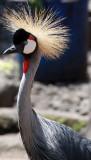 BIRD - CRANE - GREY CROWNED CRANE - RUWENGERI RWANDA (10).JPG