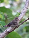 BIRD - FIREFINCH - RED-BILLED FIREFINCH - LAGONOSTICTA SENEGALA - RWANDA 2012 (105).JPG