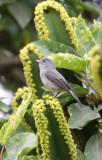 BIRD - FLYCATCHER - AFRICAN DUSKY FLYCATCHER - RUHENGERI RWANDA (3).JPG