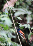 BIRD - FLYCATCHER - AFRICAN PARADISE FLYCATCHER - NYUNGWE NATIONAL PARK RWANDA (2).JPG