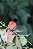 BIRD - FLYCATCHER - AFRICAN PARADISE FLYCATCHER - NYUNGWE NATIONAL PARK RWANDA (3).JPG