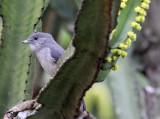 BIRD - FLYCATCHER - ASHY FLYCATCHER - MUSCICAPA CAERULESCENS - RUHENGERI RWANDA (4).JPG