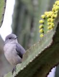 BIRD - FLYCATCHER - ASHY FLYCATCHER - MUSCICAPA CAERULESCENS - RUHENGERI RWANDA (6).JPG