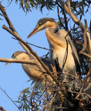 BIRD - HERON - BLACK-HEADED HERON - NYUNGWE NATIONAL PARK RWANDA (491).JPG