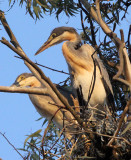 BIRD - HERON - BLACK-HEADED HERON - NYUNGWE NATIONAL PARK RWANDA (492).JPG