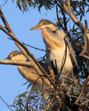 BIRD - HERON - BLACK-HEADED HERON - NYUNGWE NATIONAL PARK RWANDA (493).JPG
