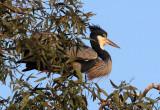 BIRD - HERON - BLACK-HEADED HERON - NYUNGWE NATIONAL PARK RWANDA (498).JPG