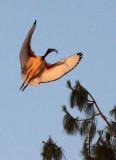 BIRD - IBIS - SACRED IBIS - NYUNGWE NATIONAL PARK RWANDA (11).JPG