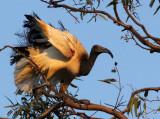 BIRD - IBIS - SACRED IBIS - NYUNGWE NATIONAL PARK RWANDA (495).JPG