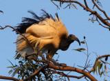 BIRD - IBIS - SACRED IBIS - NYUNGWE NATIONAL PARK RWANDA (496).JPG