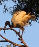 BIRD - IBIS - SACRED IBIS - NYUNGWE NATIONAL PARK RWANDA (498).JPG