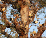 BIRD - IBIS - SACRED IBIS - NYUNGWE NATIONAL PARK RWANDA (5).JPG