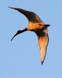 BIRD - IBIS - SACRED IBIS - NYUNGWE NATIONAL PARK RWANDA (512).JPG