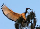 BIRD - IBIS - SACRED IBIS - NYUNGWE NATIONAL PARK RWANDA (516).JPG