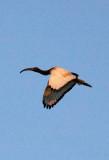 BIRD - IBIS - SACRED IBIS - NYUNGWE NATIONAL PARK RWANDA (7).JPG