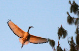 BIRD - IBIS - SACRED IBIS - NYUNGWE NATIONAL PARK RWANDA (9).JPG