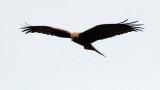 BIRD - KITE - YELLOW-BILLED KITE - PARK DU VULCANS RWANDA (112).JPG