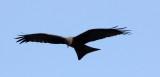 BIRD - KITE - YELLOW-BILLED KITE - PARK DU VULCANS RWANDA (113).JPG