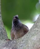 BIRD - MOUSEBIRD - SPECKLED MOUSEBIRD - PARK DU VULCANS RWANDA (114).JPG