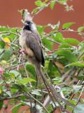 BIRD - MOUSEBIRD - SPECKLED MOUSEBIRD - RUHENGERI RWANDA (2).JPG