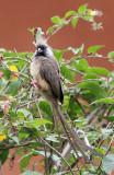 BIRD - MOUSEBIRD - SPECKLED MOUSEBIRD - RUHENGERI RWANDA (3).JPG